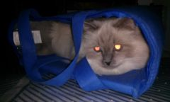Mad cat in the shopping bag