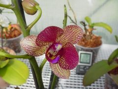 Purple with yellow lip Phalaenopsis orchid