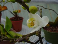 White with yellow lip Phalaenopsis orchid bloom